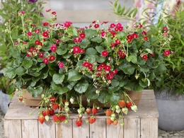 roseberryred20190302.jpg