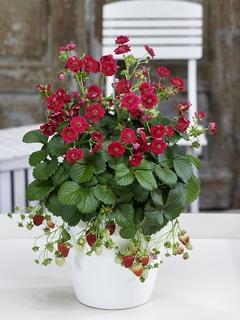 roseberryred20190303.jpg
