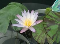 「水生植物『熱帯スイレン』」