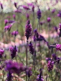 violetfizz201910.jpg