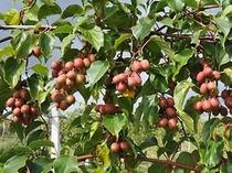健康果樹「サルナシ『ジェノバ』」