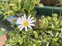 白花ブルーデージー『ペガサス』